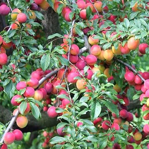 Ветки сливового дерева сорта Орловский сувенир с плодами в начале срока созревания