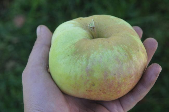 Глубокая и оржавленная воронка крупного яблока сорта Богатырь российской селекции