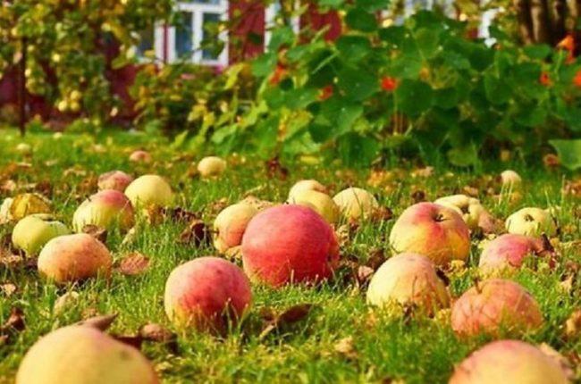 Осыпание яблок при недостаточной летней подкормке органическими удобрениями