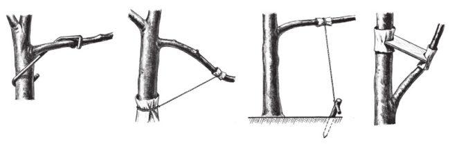 Схемы различных способов отгибания молодых веток яблони
