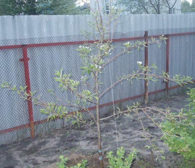 Пригибание тонких веток на молодой яблоне к земле с помощью шпагата