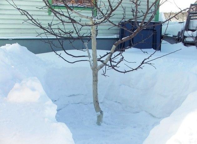 Отгребание снега от ствола молодой сливы в начале весны