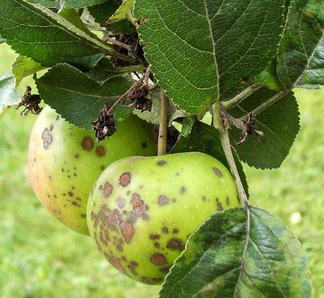 Зеленые яблоки с бурыми пятнами от парши обыкновенной