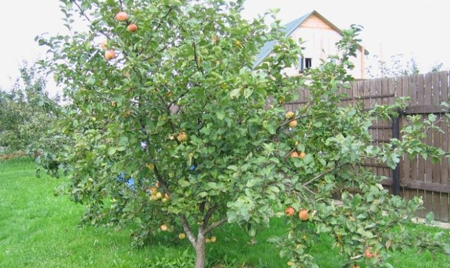 Деревце яблони с раскидистыми ветками в шестилетнем возрасте