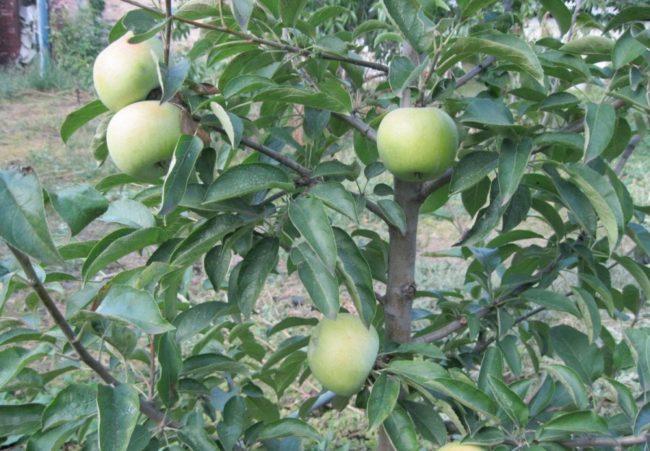 Молодая яблонька сорта Семеренко с первыми плодами на ветках