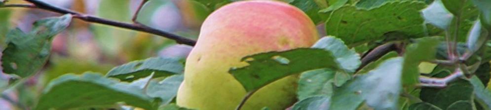 Созревающий плод яблони сорта Богатырь на ветке