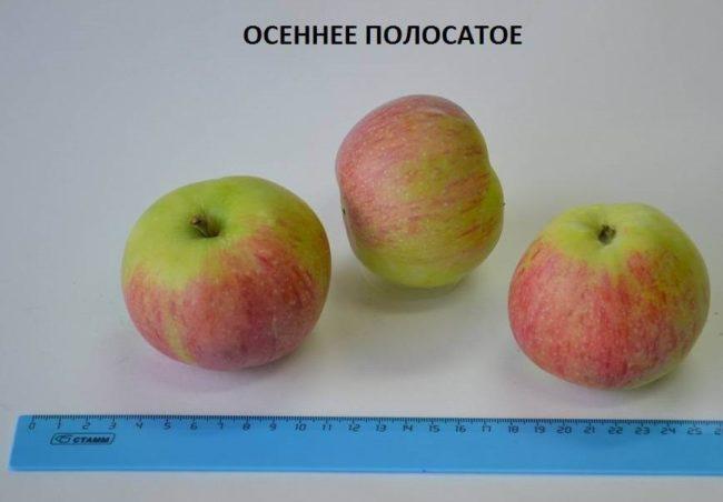 Внешний вид и размеры яблок популярного в народе сорта Осеннее полосатое