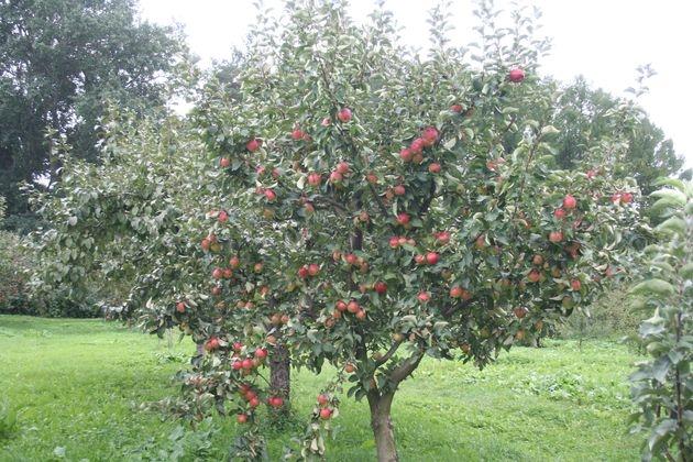 Плодоношение взрослого дерева яблони летнего срока созревания