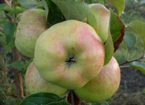 Покровная окраска с румянцем на плодах яблони сорта Богатырь
