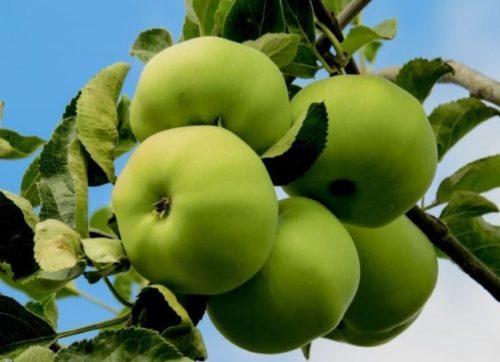 Внешний вид желто-зеленых яблок сорта Богатырь в период съемной спелости