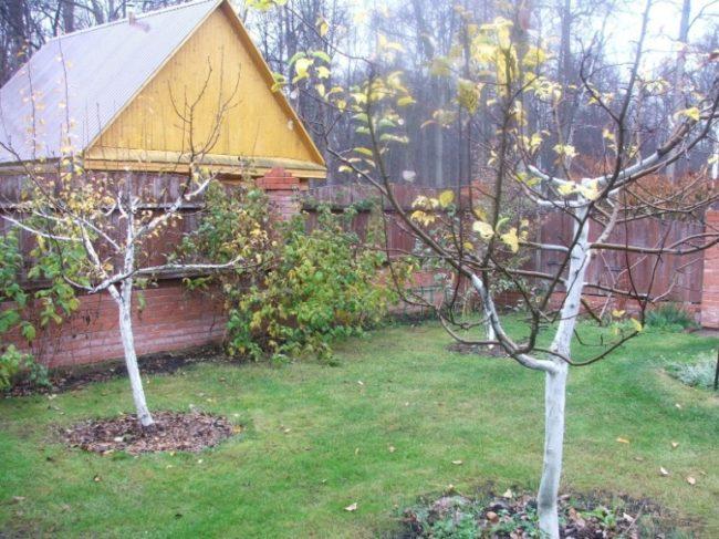 Небольшие яблони с побеленными стволами на территории дачного участка