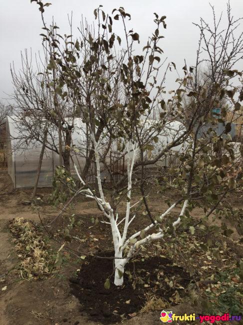 Дерево яблони побеленный ствол перед зимовкой