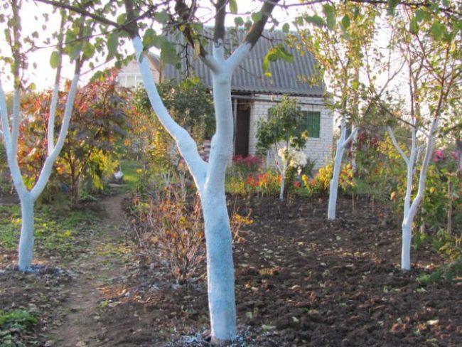 Побеленные стволы плодовых деревьев на дачном участке в середине осени