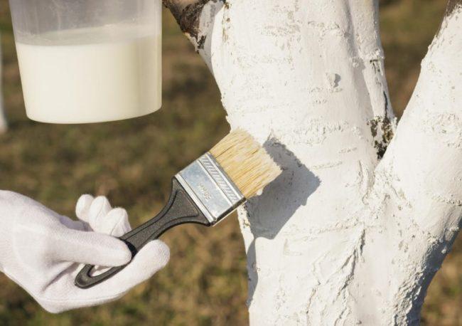Нанесение известковой побелки малярной кистью на ствол яблони
