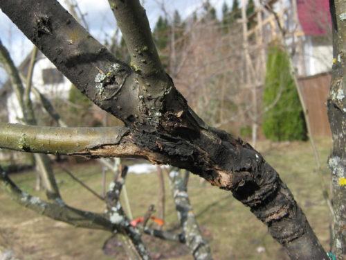 Омертвление коры на ветке яблони в результате поражения дерева черным раком
