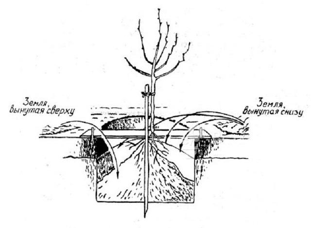 Схема заполнения посадочной ямы с саженцем яблони