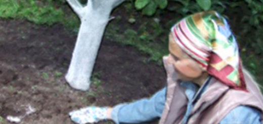 Подкормка яблонь весной методом внесения удобрения в лунки по бокам грядок