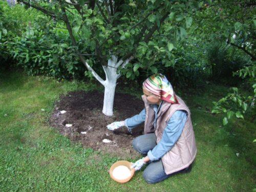 Внесение минерального удобрения в небольшие лунки приствольного круга яблони