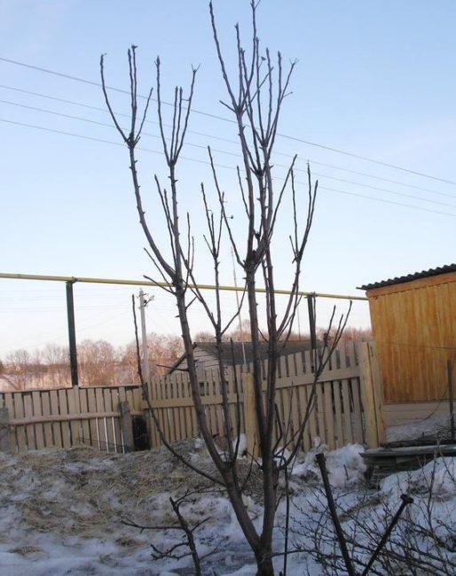 Результат ежегодного подмерзания верхушек колоновидной яблони