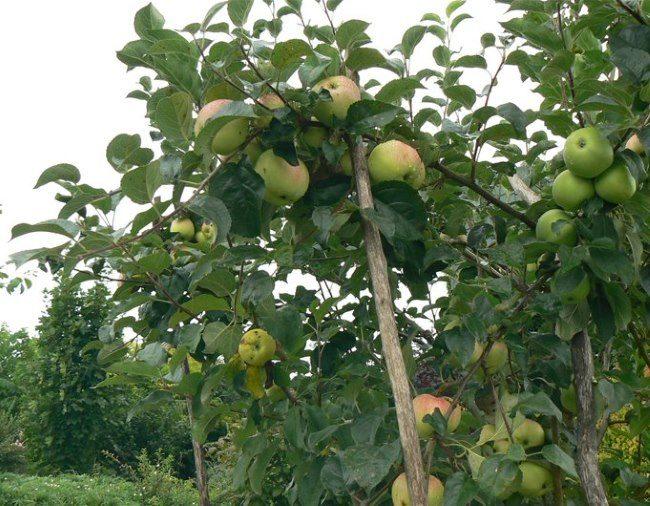 Установка подпорных стоек под ветки яблони в высокоурожайный год