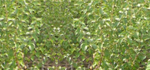 Множество клоновых карликовых подвоев для яблони