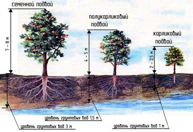 Ориентировочная высота деревьев яблони на различных подвоях