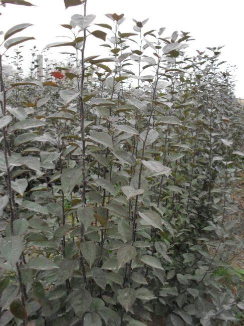 Саженцы клонового подвоя яблони 54 118 от российских селекционеров