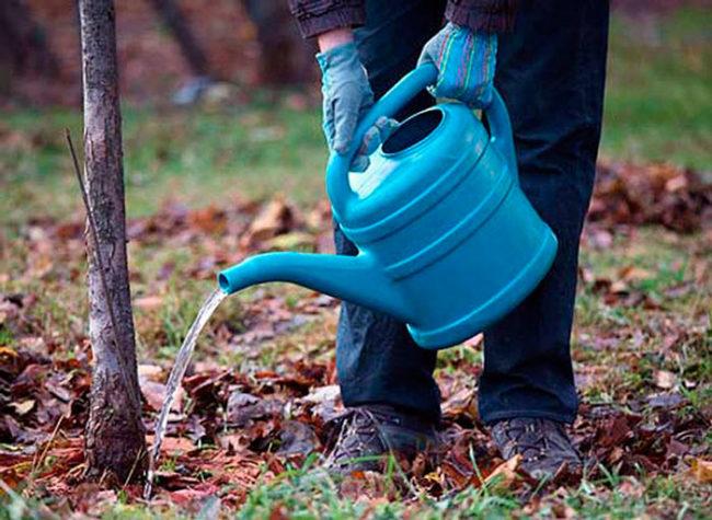 Внесение жидкого удобрения ранней весной под молодую яблоню