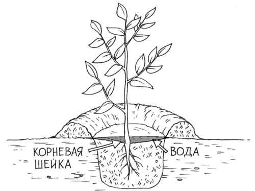 Схема посадки саженца сливы в южных районах с теплым климатом