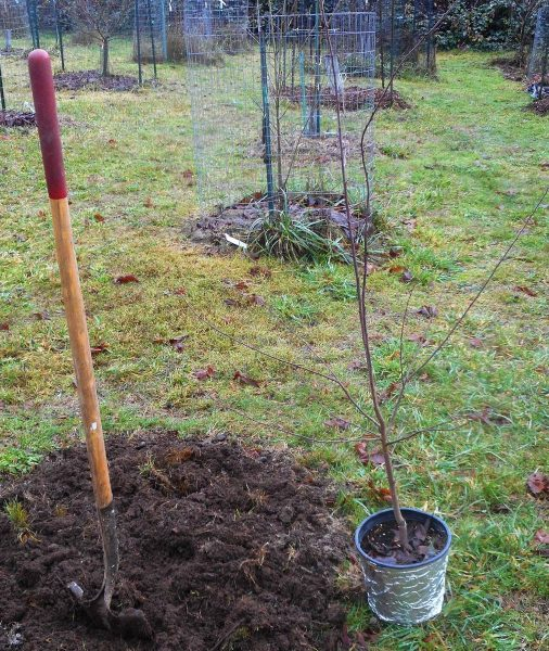 Осенняя посадка саженца сливы с закрытой корневой системой