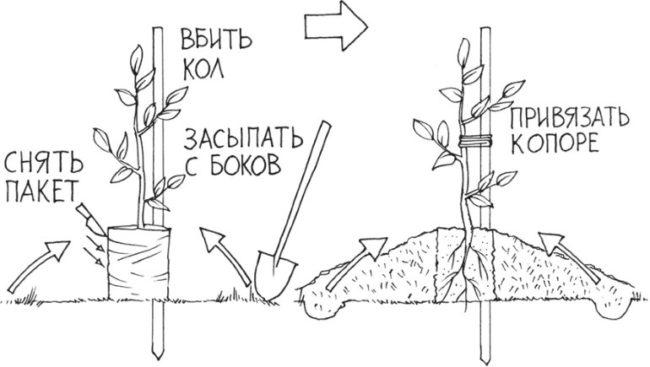 Схема посадки саженца сливы на холм в условиях Урала и Западной Сибири
