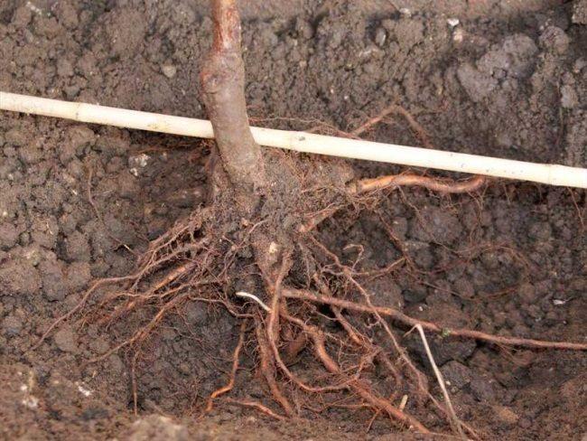 Правильное расположение корневой шейки сливы при посадке на постоянное место