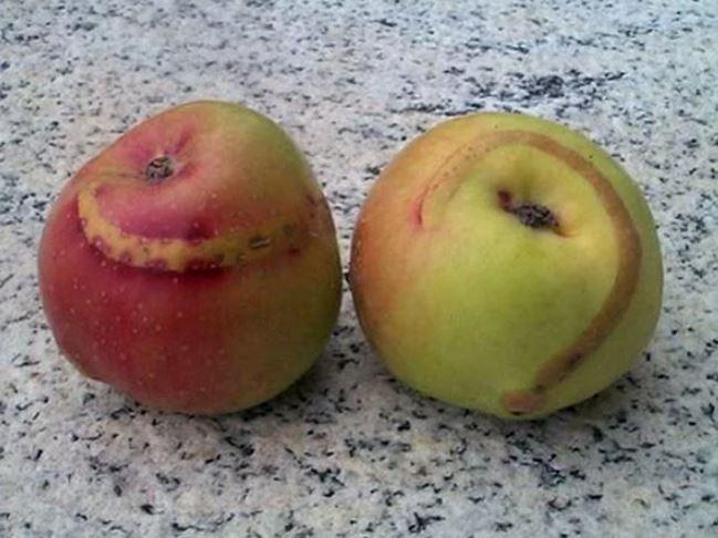 Признаки поражения плодов яблони гусеницей-пилильщиком