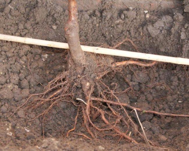 Примерка глубины посадки саженца яблони по корневой шейке