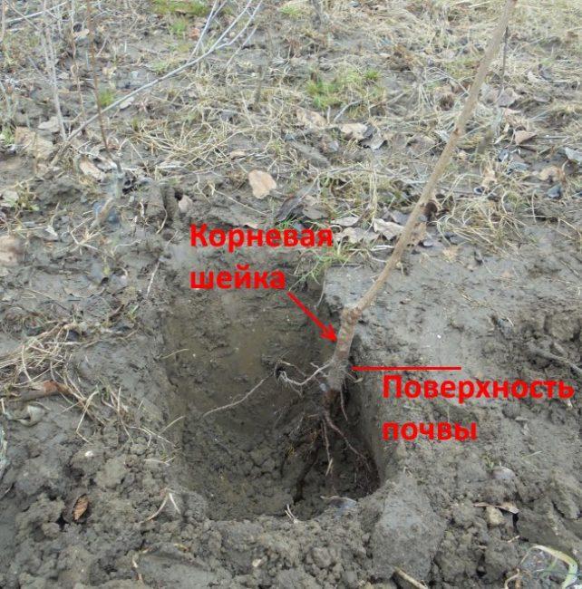Правильное размещение саженца яблони в посадочной яме