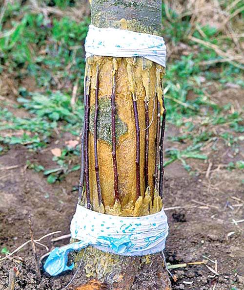 Центральный ствол сортовой яблони с привитыми черенками в технике мостиком