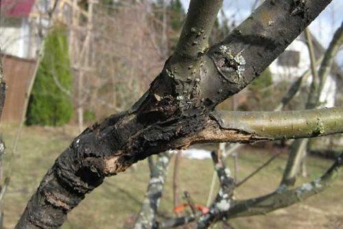 Ствол яблони с признаками поражения дерева черным раком