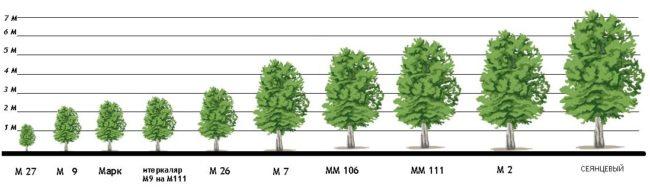 Схема зависимости размера дерева от разновидности используемого подвоя