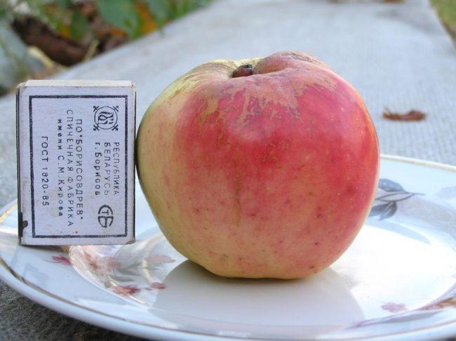 Сравнение размеров яблока сорта Богатырь с габаритами спичечного коробка