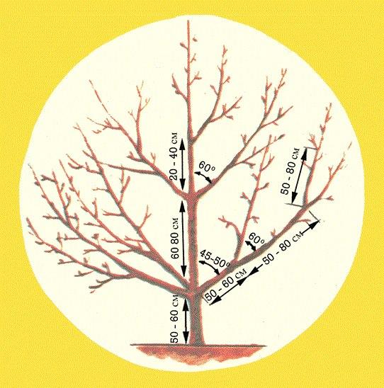 Строение разреженно-ярусной кроны плодовой яблони с указанием размеров