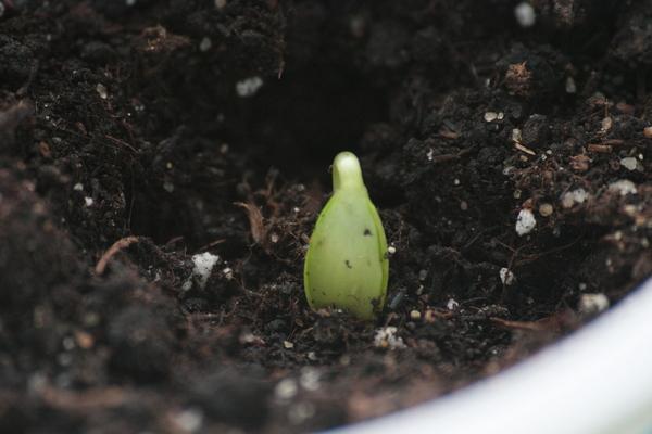 Зеленый росток яблони в горшке с землей при выращивании из семечки