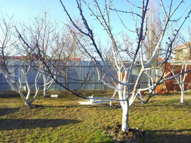 Взрослые яблони с беленными стволами в плодовом саду дачного участка