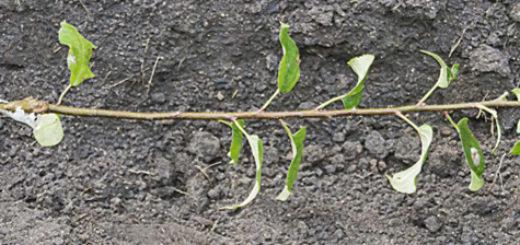 Саженец из семечка яблони из горшка пересаживается в огород на большую землю