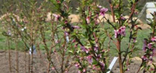 Годовалый саженец сливы на участке цветёт в первый раз
