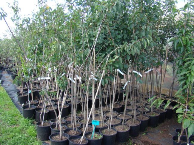 Ассортимент саженцев сливы в местном плодовом питомнике