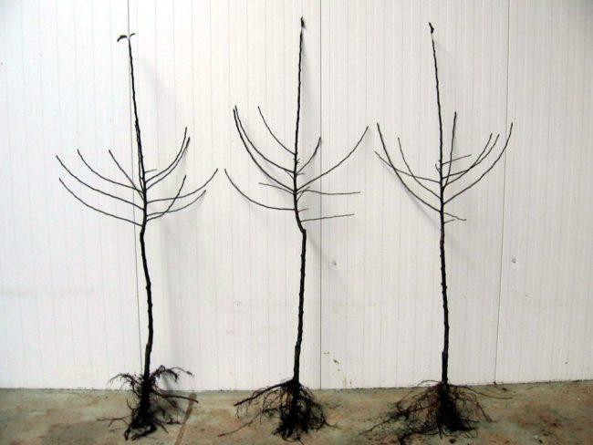 Три однолетних саженца яблони польской селекции с открытыми корнями