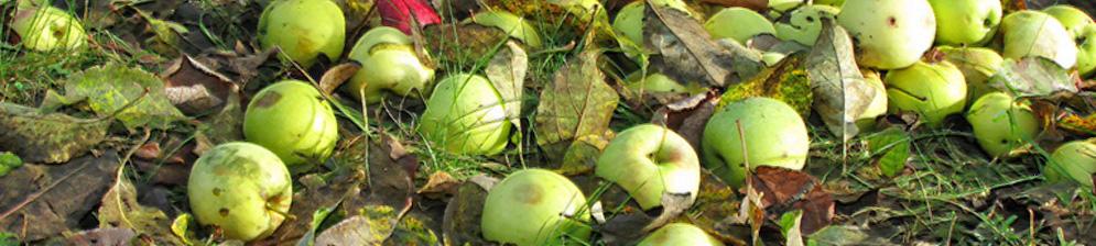 Опавшие лишние плоды с яблони на земле зелёные