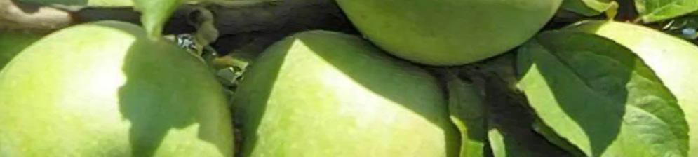 Яблоня сорта Семеренко спелые плоды на дереве