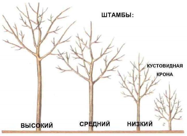 Схематичное изображение разновидностей штамбов у плодовых деревьев