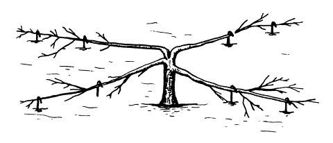 Схема формирования низкого стланца яблони на второй год обрезки